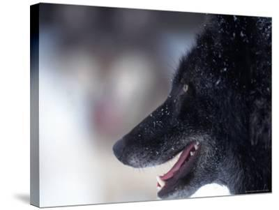 Gray Wolf, Canis Lupus, MN-D^ Robert Franz-Stretched Canvas Print