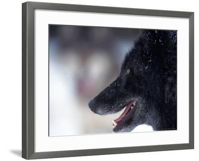 Gray Wolf, Canis Lupus, MN-D^ Robert Franz-Framed Photographic Print