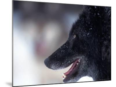 Gray Wolf, Canis Lupus, MN-D^ Robert Franz-Mounted Photographic Print