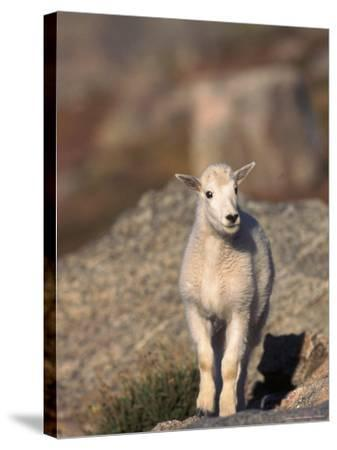 Baby Mountain Goat, Oreamos Americanus, CO-D^ Robert Franz-Stretched Canvas Print