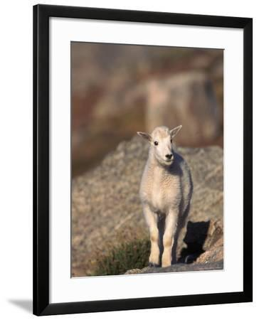 Baby Mountain Goat, Oreamos Americanus, CO-D^ Robert Franz-Framed Photographic Print