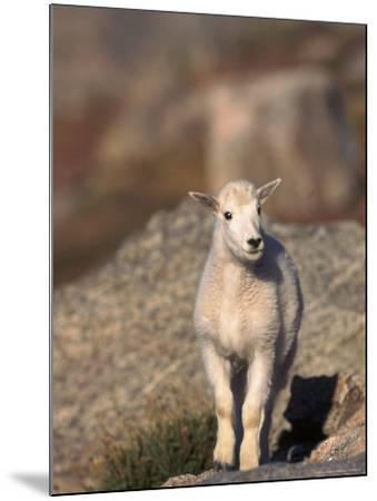 Baby Mountain Goat, Oreamos Americanus, CO-D^ Robert Franz-Mounted Photographic Print