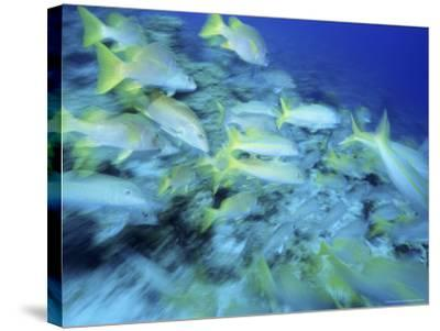 Yellowtail Snappers-Karen Schulman-Stretched Canvas Print