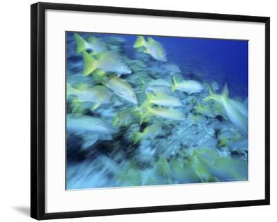 Yellowtail Snappers-Karen Schulman-Framed Photographic Print