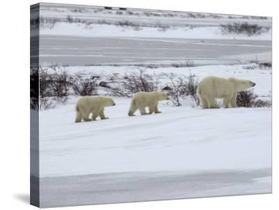 Polar Bears in Churchill, Manitoba-Keith Levit-Stretched Canvas Print