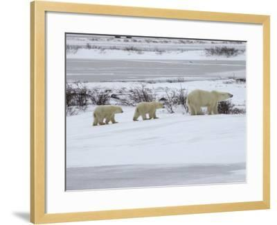 Polar Bears in Churchill, Manitoba-Keith Levit-Framed Photographic Print