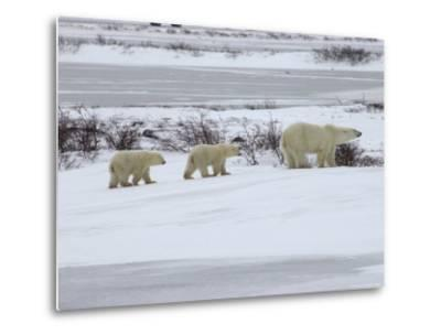 Polar Bears in Churchill, Manitoba-Keith Levit-Metal Print