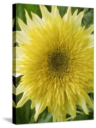 "Helianthus Annuus, ""Starburst Lemon Aura,"" September-Chris Burrows-Stretched Canvas Print"