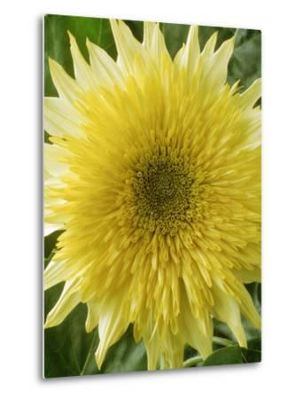 "Helianthus Annuus, ""Starburst Lemon Aura,"" September-Chris Burrows-Metal Print"