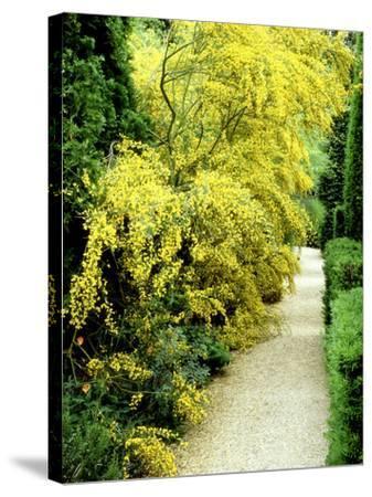 Bright Yellow Flowering Spiny Shrub Genista Syn. Chamaespartium (Broom), Oxfordshire Garden-David Dixon-Stretched Canvas Print