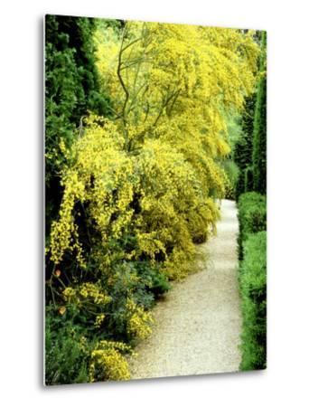 Bright Yellow Flowering Spiny Shrub Genista Syn. Chamaespartium (Broom), Oxfordshire Garden-David Dixon-Metal Print