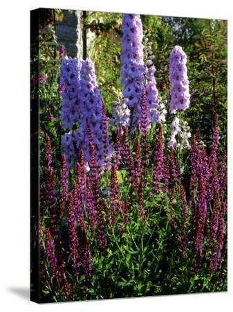 Pink and Purple Summer Border, Pink Delphinium and Purple Pink Flowers of Salvia X Sylvestris-Ron Evans-Stretched Canvas Print
