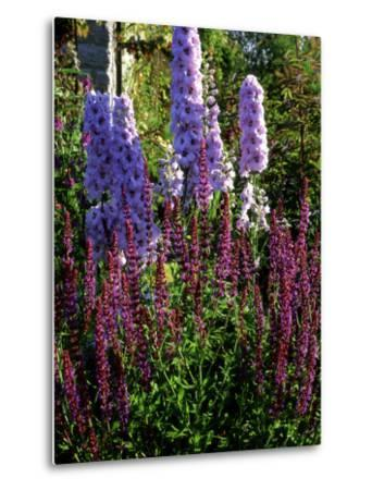 Pink and Purple Summer Border, Pink Delphinium and Purple Pink Flowers of Salvia X Sylvestris-Ron Evans-Metal Print