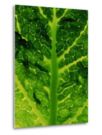 Extreme Close-up of Brassica, Savoy Cabbage, November-James Guilliam-Metal Print