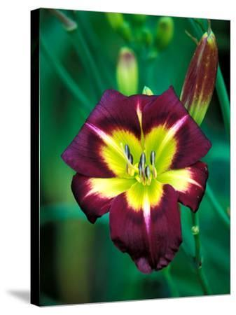 "Hemerocallis ""Night Beacon,"" Close-up of Red Flower Heads-Lynn Keddie-Stretched Canvas Print"