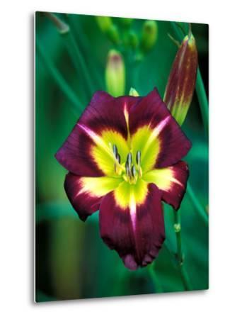"Hemerocallis ""Night Beacon,"" Close-up of Red Flower Heads-Lynn Keddie-Metal Print"