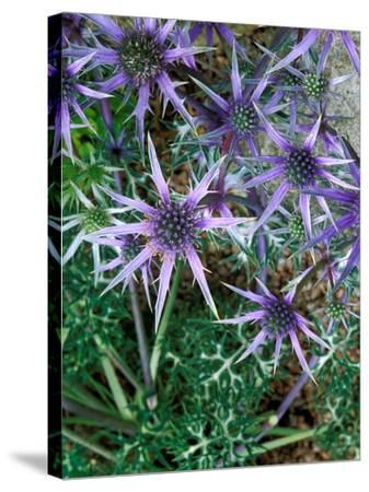 Eryngium Bourgatii, Graham Stuart Thomas Selection, Blue Flower Heads, Showing Green Foliage-Lynn Keddie-Stretched Canvas Print