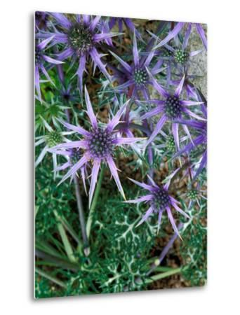 Eryngium Bourgatii, Graham Stuart Thomas Selection, Blue Flower Heads, Showing Green Foliage-Lynn Keddie-Metal Print