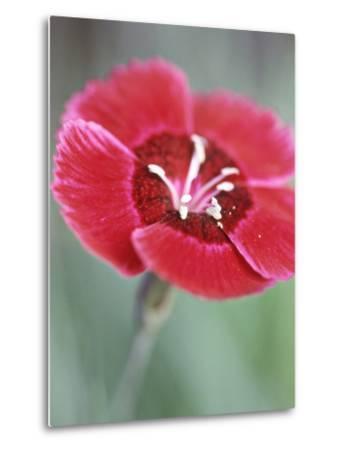 Dianthus Red Dwarf (Pinks)-Lynn Keddie-Metal Print
