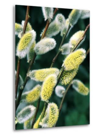 Salix Acutifolia (Pussy Willow), Close-up of Catkins, February-Michele Lamontagne-Metal Print