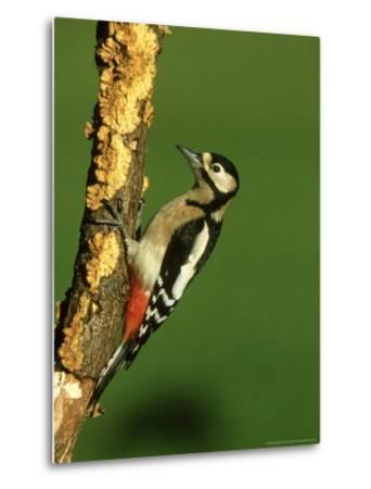 Great Spotted Woodpecker, Portrait-Mark Hamblin-Metal Print