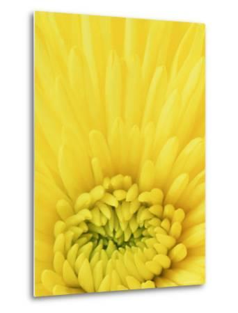 Close-up Pattern in Yellow Mum-Adam Jones-Metal Print