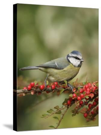 Blue Tit, Perching, Middlesex, UK-Elliot Neep-Stretched Canvas Print