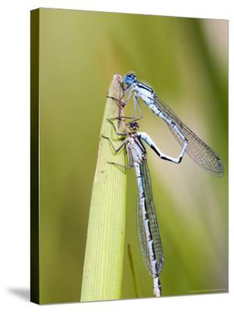Common Damselfly, Male and Female Pre Wheel Position, UK-Mike Powles-Stretched Canvas Print