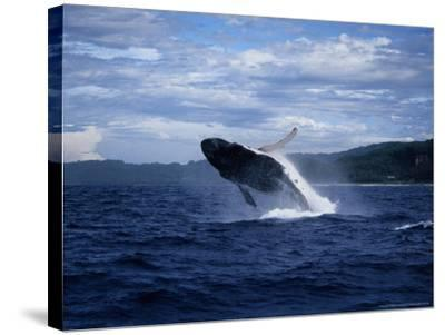 Humpback Whale, Breaching, Polynesia-Gerard Soury-Stretched Canvas Print