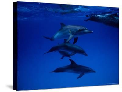 Atlantic Spotted Dolphins, Group Swimming, Bahamas-Gerard Soury-Stretched Canvas Print