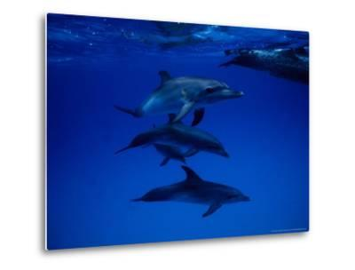 Atlantic Spotted Dolphins, Group Swimming, Bahamas-Gerard Soury-Metal Print
