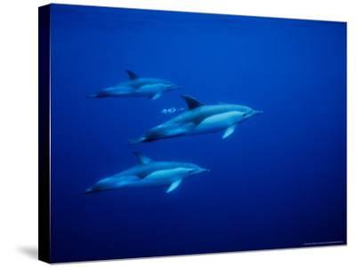 Short-Beaked Common Dolphins, Underwater, Port-Gerard Soury-Stretched Canvas Print