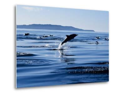 Long-Nosed Common Dolphin, Porpoising, Sea of Cortez-Gerard Soury-Metal Print