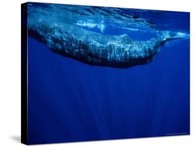 Sperm Whale, Juvenile, Portugal-Gerard Soury-Stretched Canvas Print