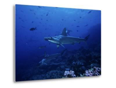 Scalloped Hammerhead Shark, Group, Galapagos-Gerard Soury-Metal Print
