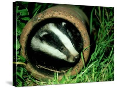 Badger, Young, UK-Les Stocker-Stretched Canvas Print