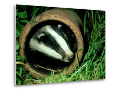 Badger, Young, UK-Les Stocker-Metal Print