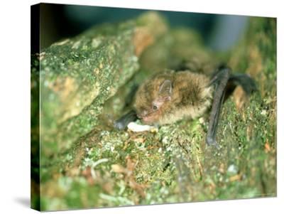 Soprano Pipistrelle Bat, Aylesbury, England-Les Stocker-Stretched Canvas Print