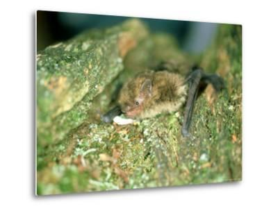 Soprano Pipistrelle Bat, Aylesbury, England-Les Stocker-Metal Print