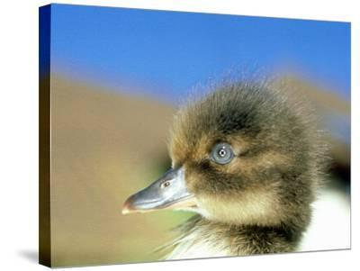 Tufted Duck, Young, England, UK-Les Stocker-Stretched Canvas Print