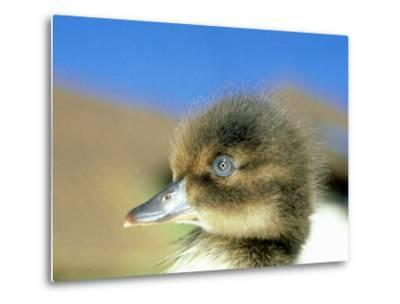 Tufted Duck, Young, England, UK-Les Stocker-Metal Print