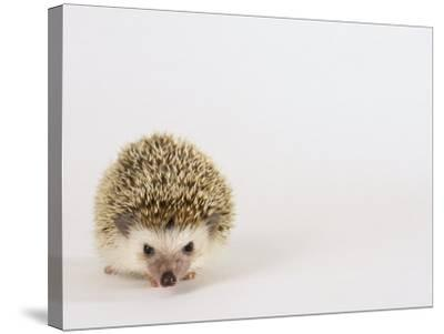 Four-Toed Hedgehog-Les Stocker-Stretched Canvas Print
