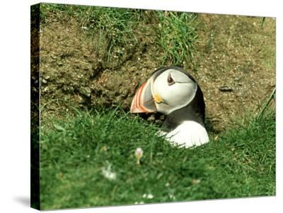 Puffin, Peering out of Hole, Shetland-David Tipling-Stretched Canvas Print