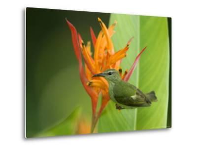Red-Legged Honeycreeper, Female on Flower, Costa Rica-Roy Toft-Metal Print
