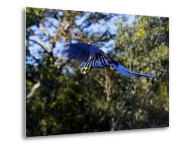 Hyacinth Macaw, Parrot in Flight, Brazil-Roy Toft-Metal Print