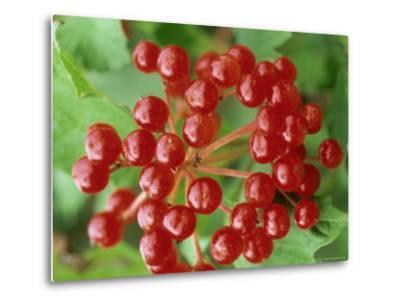 Guelder Rose, Berries, Sussex, UK-Ian West-Metal Print