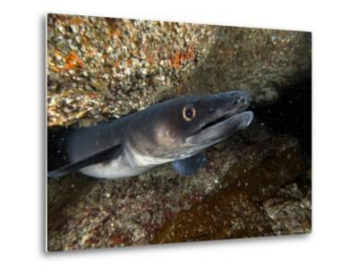 Conger Eel, Emerging from Rock Crevice, UK-Mark Webster-Metal Print