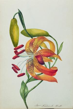 Tiger Lily-Mrs Frederick Hill-Stretched Canvas Print