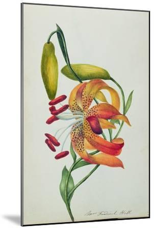 Tiger Lily-Mrs Frederick Hill-Mounted Giclee Print