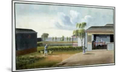 Sorting Tea--Mounted Giclee Print